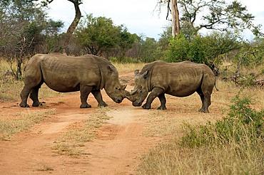 White rhinoceros (Ceratotherium simum) pair, Kruger National Park, South Africa, Africa