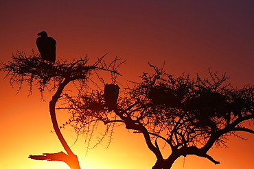 Griffon vulture (Gyps fulvus) in a tree at sunrise, Masai Mara Game Reserve, Kenya, East Africa, Africa