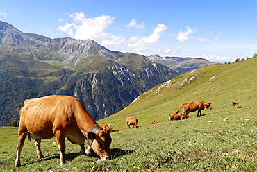 The milk used for Beaufort cheese comes from the Tarine cows that graze in the high pastures, Peisey Nancroix, Savoie, French Alps, France, Europe