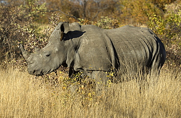 White rhinoceros (Ceratotherium simum) standing in the bush, Kruger National Park, South Africa, Africa