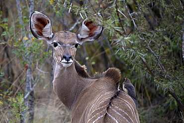 Waterbuck (Kobus ellipsiprymnus), Kruger National Park, South Africa, Africa