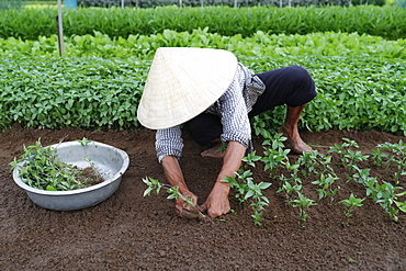 Vietnamese woman planting seedlings in Organic vegetable gardens in Tra Que Village, Hoi An, Vietnam, Indochina, Southeast Asia, Asia