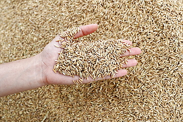 Close-up cropped image of farmer holding rice seeds, after rice harvest, Hoi An, Vietnam, Indochina, Southeast Asia, Asia