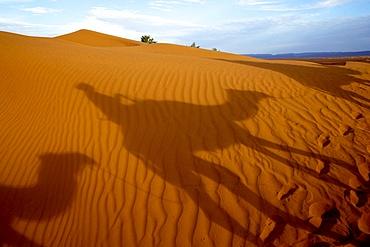 Dromedary trek in Eastern Morocco, North Africa, Africa