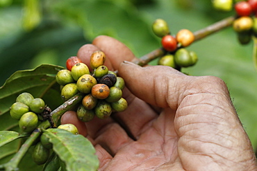 Close up fresh organic red coffee on a coffee plantation, Dak Lak, Vietnam, Indochina, Southeast Asia, Asia