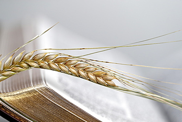 The sacred book of the Bible and ears of wheat as a symbol of spiritual and physical food, France, Europe