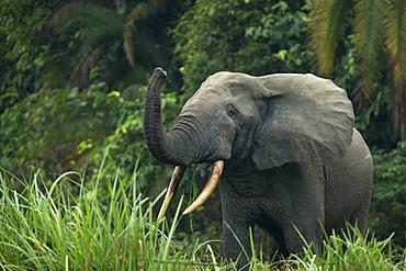 African forest elephant (Loxodonta cyclotis), Odzala-Kokoua National Park, Republic of the Congo, Africa