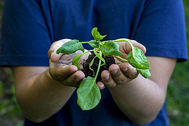 Boy holding a plant sprout in Eure, Normandy, France, Europe