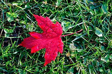 Red maple leaf with drops of water in autumn, France, Europe - 809-8167