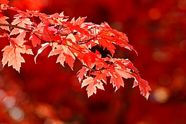 Maple tree with red-coloured autumn leaves, France, Europe