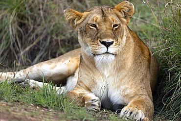 Lioness (Panthera leo) in savanna. Masai Mara National Park. Kenya.