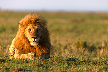 Male lion (Panthera leo) in savanna. Masai Mara National Park. Kenya.