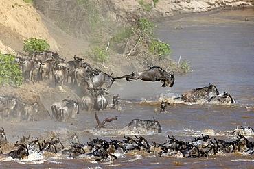 Migratory blue wildebeest (Connochaetes taurinus) crossing the Mara River, Masai Mara National Reserve, Kenya, East Africa, Africa