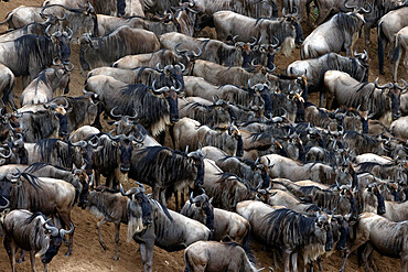 Wildebeest migration (Connochaetes taurinus), Masai Mara National Reserve. Kenya.