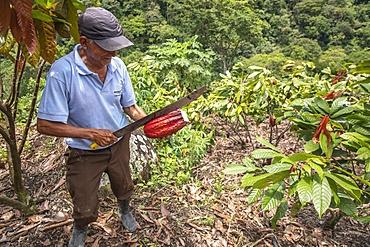 Cocoa planter breaking a pod in Intag valley, Ecuador, South America