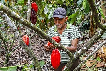 Cocoa planter at work in Intag valley, Ecuador