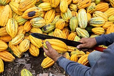 Cocoa farmer breaking cocoa pods on a plantation in Intag valley, Ecuador, South America