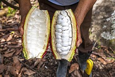 Cocoa planter opening a pod in Intag valley, Ecuador, South America