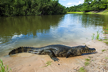 Alligator (Yacare caiman) in the Pantanal, UNESCO World Heritage Site, Brazil, South America