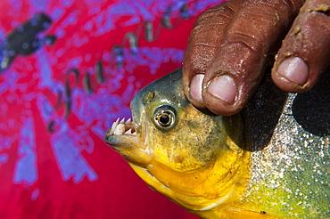 Man holding a piranha (Serrasalmidae) in his hand in the Pantanal, Brazil, South America