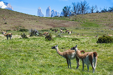 Guanakos (Lama Guanicoe), Torres del Paine National Park, Patagonia, Chile, South America