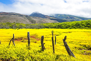 Fenced field of yellow flowers, Island of Molokai, Hawaii, United States of America, Pacific