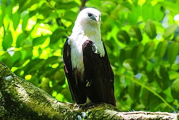 White-bellied sea eagle (Haliaeetus leucogaster), Davao, Mindanao, Philippines, Southeast Asia, Asia