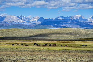 Cattle grazing in front of the mountains of the Caribou National Forest, Wyoming, United States of America, North America