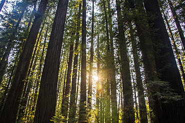 Sun breaking through the Redwood trees, Avenue of the Giants, Northern California, USA