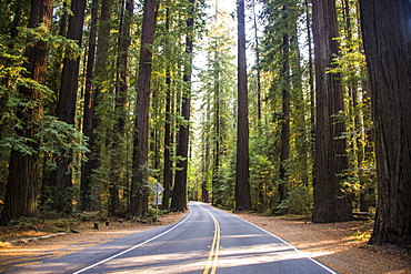 Road leading through the Avenue of the Giants, giant Redwood trees, Northern California, USA