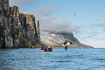 Black-legged kittiwakes (Rissa tridactyla) colony on the cliffs of Alkerfjellet, Svalbard, Arctic