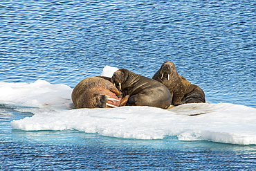 Three walrus (Odobenus rosmarus) on an ice shelf, Arctic shelf, Svalbard, Arctic