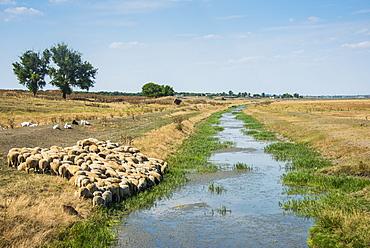 Herd of sheep grazing on a little channel, Besalma, Gagauzia, Moldova