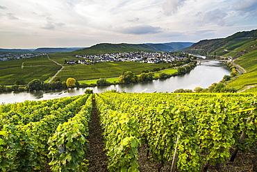 Vineyards around the Moselle at Trittenheim, Moselle Valley, Rhineland-Palatinate, Germany, Europe