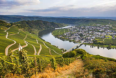 Vineyards around Piesport and the Moselle River, Moselle Valley, Rhineland-Palatinate, Germany, Europe