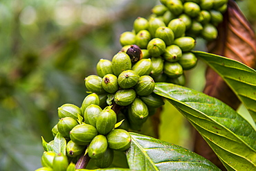 Close up of coffee beans (Rubiaceae) on a coffee plantation in the jungle of Sao Tome, Sao Tome and Principe, Atlantic Ocean, Africa