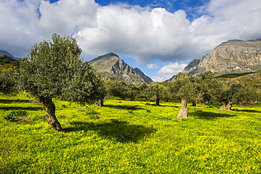 Blooming field with olive trees, Crete, Greek Islands, Greece, Europe