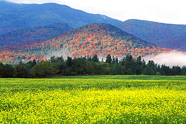 MacIntyre Mountains and mustard field in the autumn, Adirondack State Park, New York State, United States of America, North America