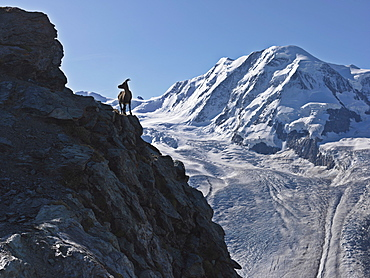Mountain goat on cliff with Mount Breithorn in background, Gornergrat, Zermatt, Valais, Switzerland, Europe