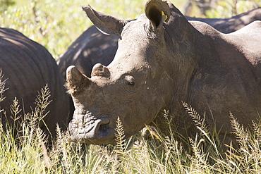 A group of white rhinos (Ceratotherium simum) (square-lipped rhinoceros), Matobo National Park, Zimbabwe, Africa