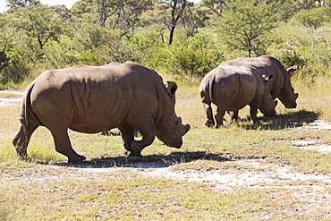 A group of white rhinos (Ceratotherium simum) (square-lipped rhinoceros), in Matobo National Park, Zimbabwe, Africa