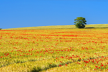 Poppies in poppy field, Cambridgeshire, England, United Kingdom, Europe