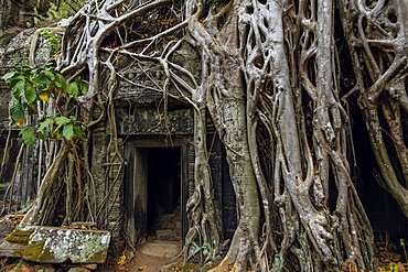 Roots of lithophyte strangler fig at 12th century temple complex Ta Prohm, a Tomb Raider film location, Angkor, UNESCO World Heritage Site, Siem Reap, Cambodia, Indochina, Southeast Asia, Asia