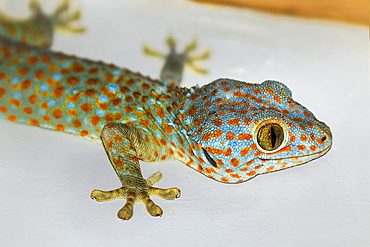Colourful Tokay Gecko (Gekko gecko) hunting on a wall, the second largest species, Koh Rong Sanloem Island, Sihanoukville, Cambodia, Indochina, Southeast Asia, Asia