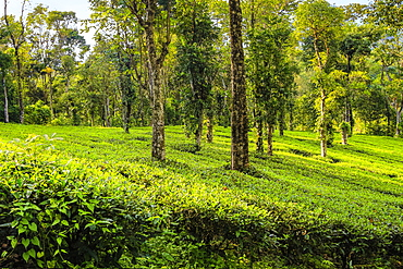 Tea and peppercorn plants at family owned 15 acre estate, growing white tea, coffee, pepper, cardamom, Anachal, Munnar, Kerala, India, Asia