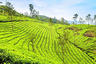 Tea bush covered slopes at Lakshmi tea estate in the Kannan Devan Hills west of Munnar, Lakshmi, Munnar, Kerala, India, Asia