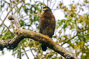 Crested serpent eagle (Spilornis cheela davisoni), medium-sized bird of prey, in scenic Wayanad district, Wayanad, Kerala, India, Asia