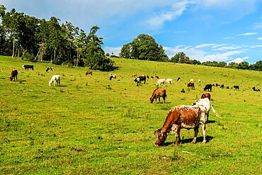 Cattle grazing in a Chiltern Hills valley at Rotherfield Greys just west of Henley-on-Thames, Rotherfield Greys, Oxfordshire, England, United Kingdom, Europe