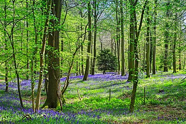 Bluebells in springtime in a classic beech tree setting at College Wood, Pishill in the Chiltern Hills, Pishill, Oxfordshire, England, United Kingdom, Europe