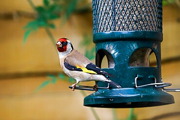 European goldfinch (Carduelis carduelis) on squirrel-proof sunflower seed bird feeder; Henley-on-Thames, Oxfordshire, UK